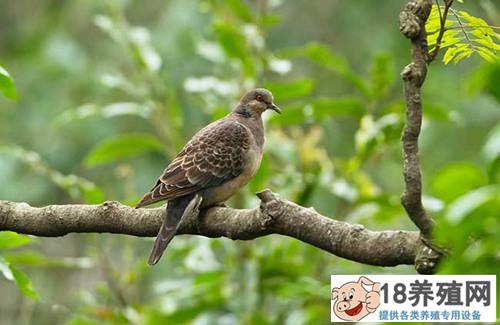斑鸠一年繁殖几窝?