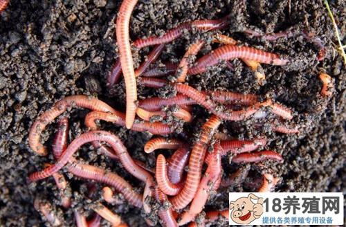 2019年蚯蚓的养殖前景怎么样?