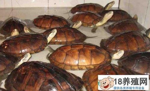 石龟价格下跌,石龟养殖热背后的隐忧