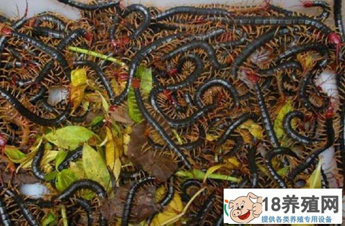 蜈蚣养殖的四个误区,养蜈蚣都有哪些骗局?