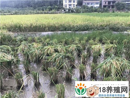 重庆武隆陈明亿稻田里养泥鳅获取另外的财富(3)