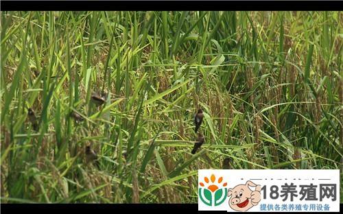 重庆武隆陈明亿稻田里养泥鳅获取另外的财富(2)
