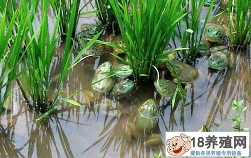 2020年牛蛙价格预测多少?