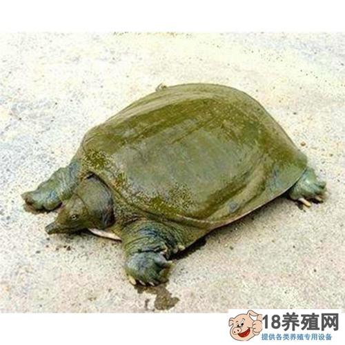 甲鱼和乌龟的区别,甲鱼吃什么东西长的快?