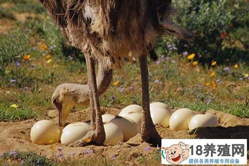 鸵鸟蛋怎么孵化 鸵鸟孵化技术