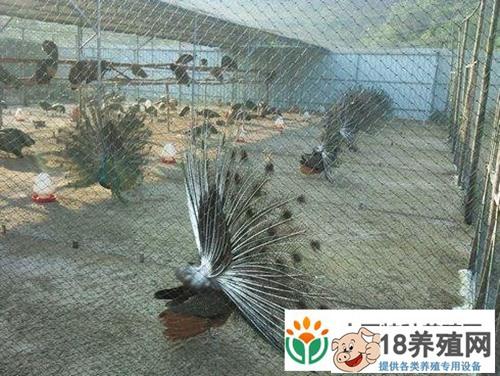 孔雀养殖技术要点