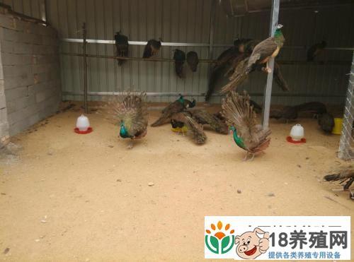 孔雀养殖技术要点(2)