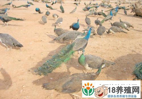 孔雀养殖技术要点(4)