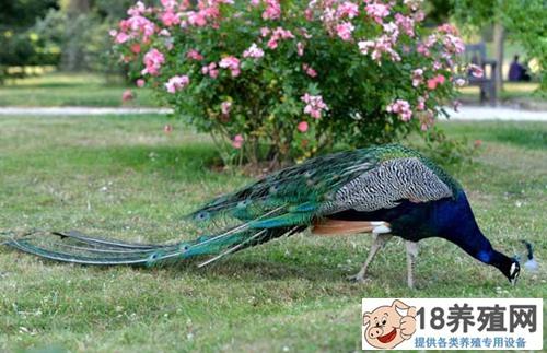 孔雀养殖技术常见问题(3)