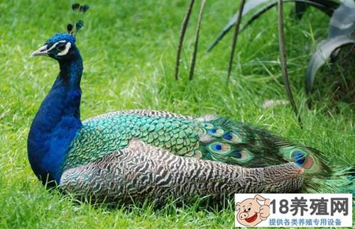 孔雀养殖技术常见问题(2)