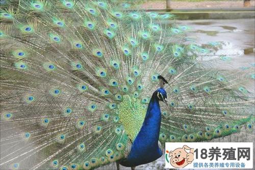 孔雀养殖技术常见问题