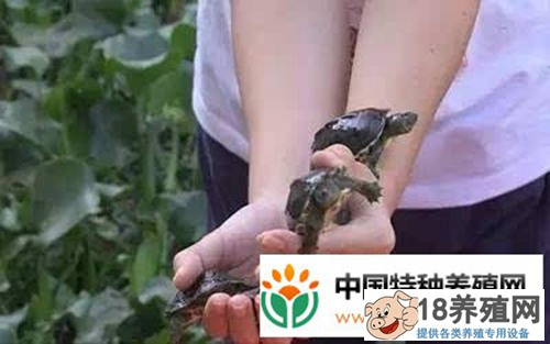 龟痴陈明球驯养乌龟年入2千万的致富经(2)