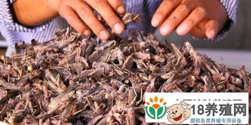 蚂蚱成特种养殖中的新宠(2)