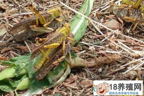 蚂蚱成特种养殖中的新宠