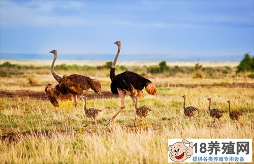 鸵鸟养殖技术 这些要点要记牢(2)