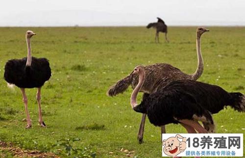 鸵鸟养殖技术 这些要点要记牢(3)