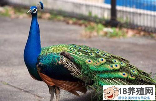 养孔雀需要什么条件(2)