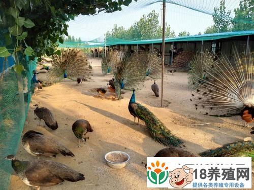 孔雀养殖育雏期注意事项