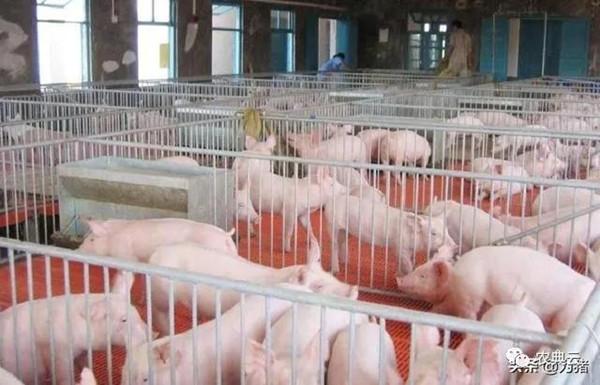 养猪场环境需要注意什么?产房、托儿所、育肥房环境管理要点?