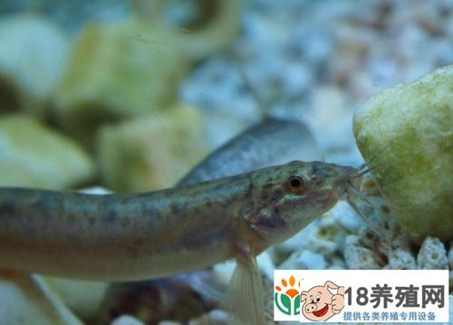 泥鳅池塘养殖水质突然变清是什么原因