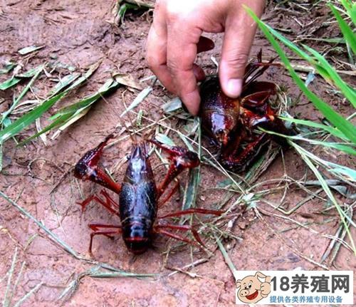 """荷塘里养殖小龙虾,荷虾共养""""立体""""赚钱!"""