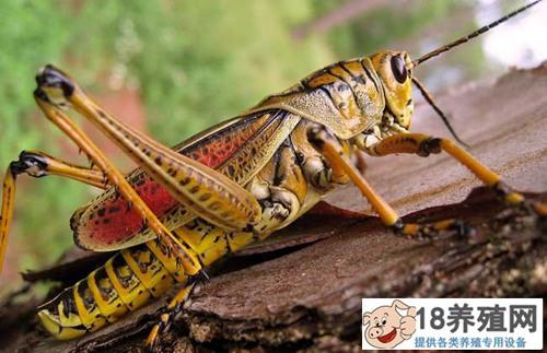 飞蝗害虫的防治技术