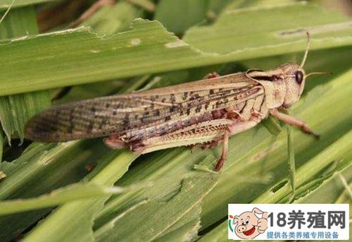 飞蝗害虫的防治技术(2)