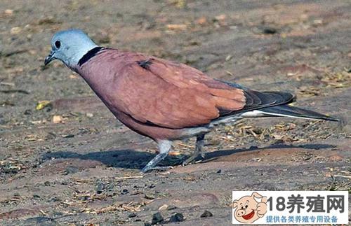 珠颈斑鸠一年繁殖几窝