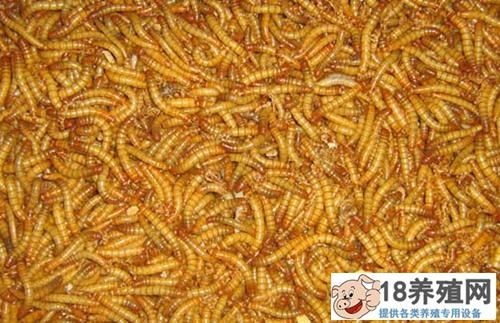 黄粉虫吃什么食物