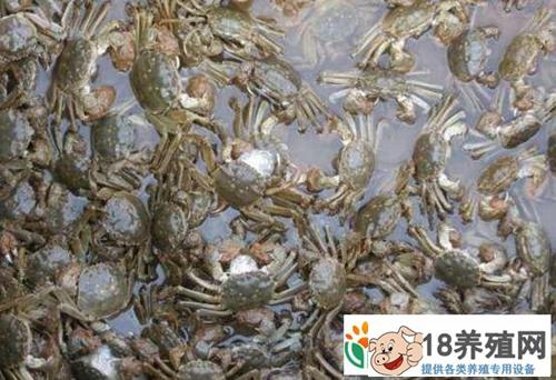 秋季大闸蟹的育肥方法