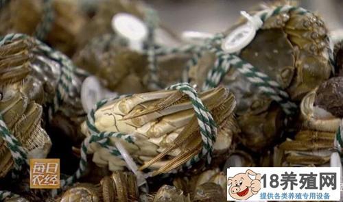 螃蟹养肥冬天卖,错季上市的螃蟹黄满膏肥!