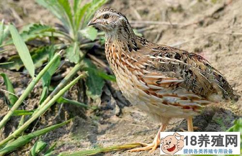 鹌鹑鸟养殖方法(2)