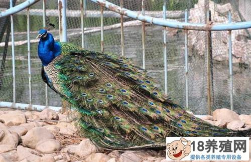 孔雀的养殖技术