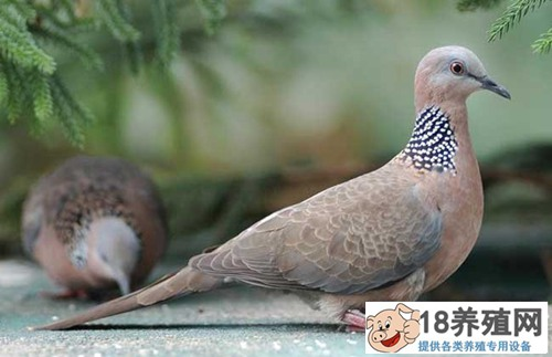 斑鸠幼鸟吃什么食物