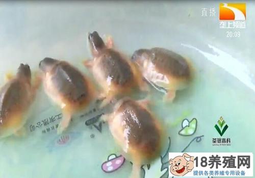 稀奇!普通农家为何孵出黄颜色的甲鱼?究竟咋回事?