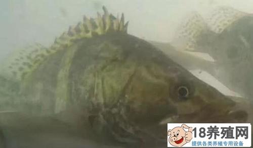 鳜鱼和螃蟹养在一起,高密度养殖有高招!