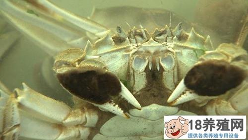 """寇元钦""""魔咒""""泉里养螃蟹,3个月要捞2000万!(2)"""
