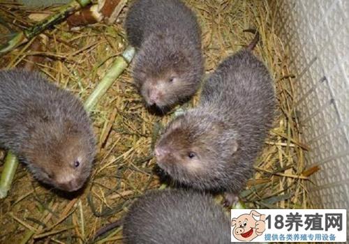 竹鼠养殖怎样安全越冬