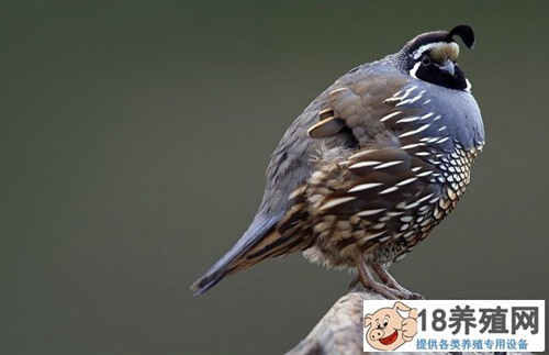 鹌鹑鸟养殖方法