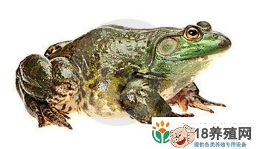牛蛙流水式养殖技术有哪些