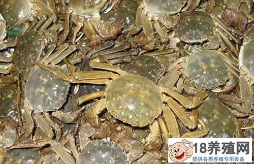 河蟹养殖想要高收益,精养是出路