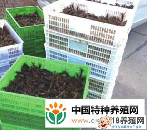 一斤小龙虾价格高出均价2至3元!这里的小龙虾为何这样贵?