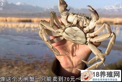 熊黎明养殖高原反季节大闸蟹价格翻倍的秘密