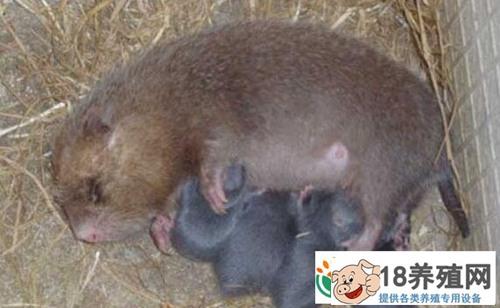 竹鼠吃什么,适合饲养竹鼠的饲料有哪些?