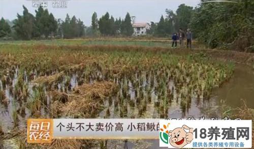 稻田养泥鳅,稻鳅共生一亩稻田增收5000元