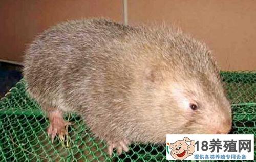 竹鼠养殖能手巧养竹鼠一年收入10万多元!