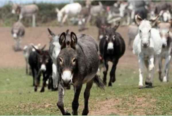 驴育种前景如何?养驴的成本和利润?