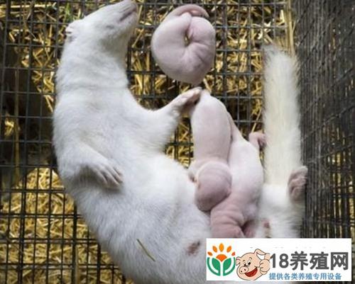 哺乳期水貂的管理要点(2)