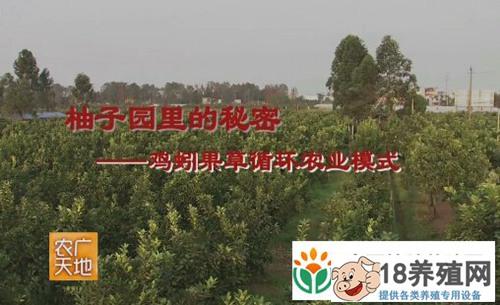 柚子园里的财富秘密:鸡蚓果草循环种养效益高