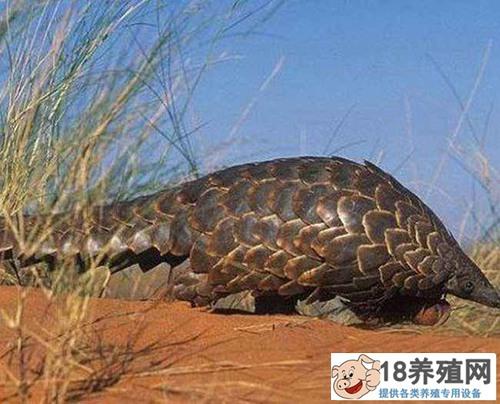 穿山甲是几级保护动物?(2)